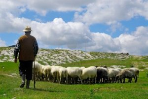 shepherd-with-his-sheep-on-pasture
